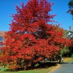 Sustainable tree-Black tupelo (Nyssa sylvatica)