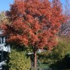 Acer griseum or Paperbark Maple