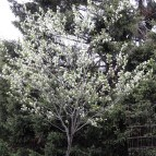 Amelanchier arborea or Serviceberry
