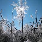 Ice Damaged Trees